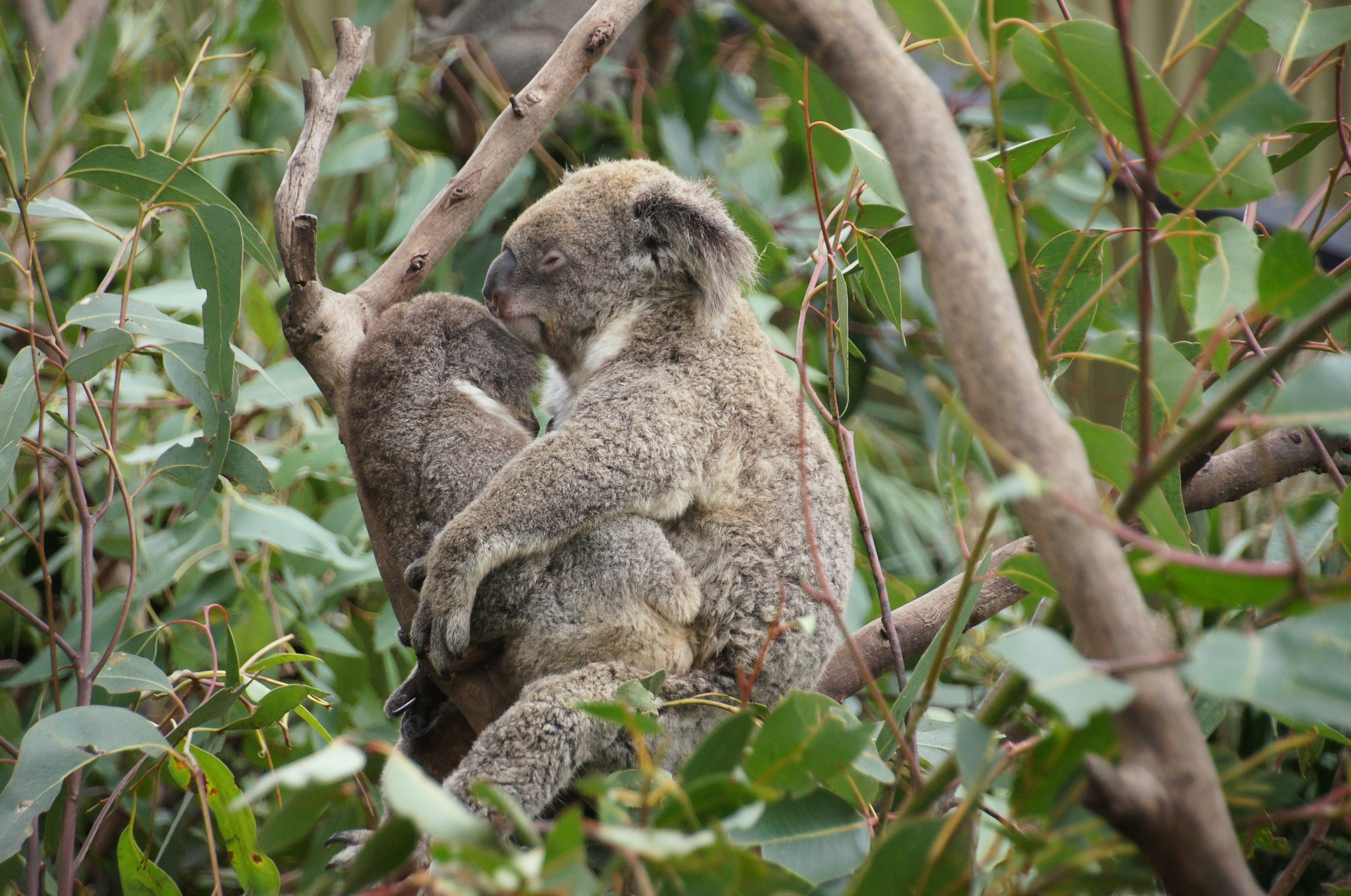 koala-226281_1920